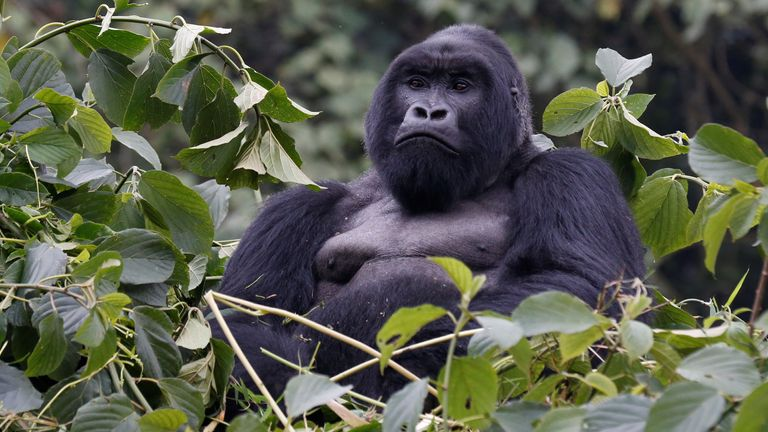 An endangered silverback high mountain gorilla from Sabyinyo family rests atop trees inside the forest in the Volcanoes National Park near Kinigi Gihishamwotzi, 18, an endangered silverback high mountain gorilla from Sabyinyo family, rests atop trees inside the forest in the Volcanoes National Park near Kinigi, northwestern Rwanda, January 9, 2018. Picture taken January 9, 2018. REUTERS/Thomas Mukoya
