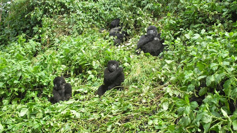 A family of mountain gorillas are seen at Rwanda's Parc National des Volcans. File pic