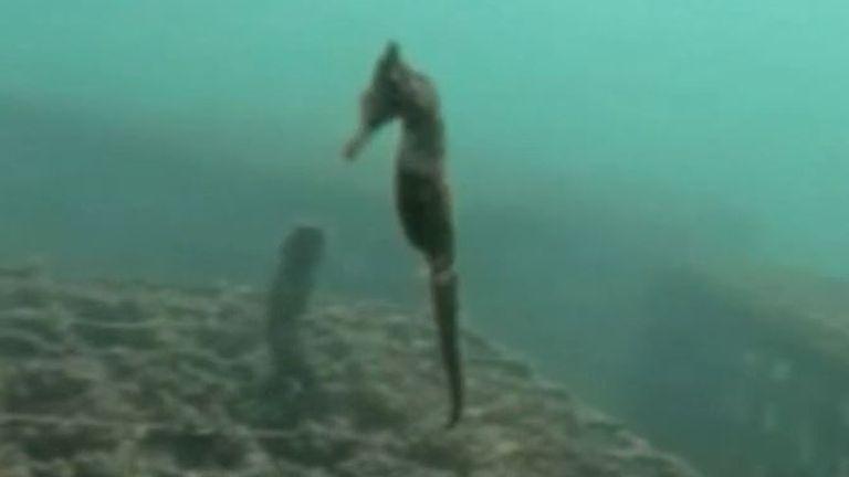 Rare seahorse surveys its artificial 'hotel'