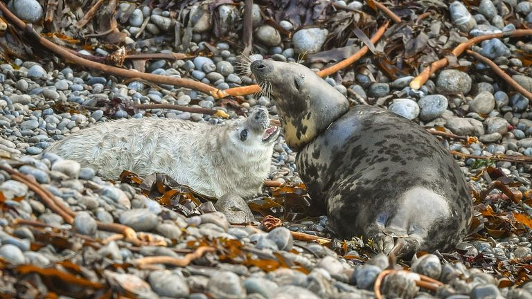 A female Atlantic grey seal with her pup at a remote breeding ground in Pembrokeshire. The National Trust is warning of the dangers of ocean waste after the seal was spotted with fishing debris caught around its neck.