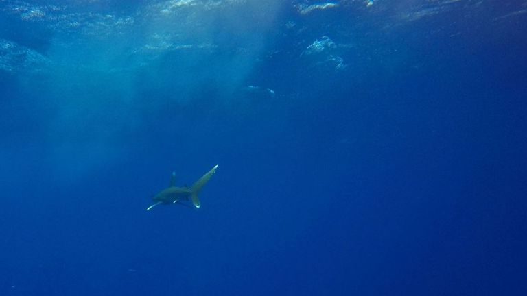 Investigations found an Oceanic Whitetip shark attacked the child and his tour guide