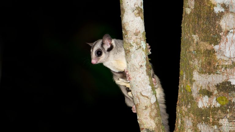The Australian Sugar Glider is mainly nocturnal