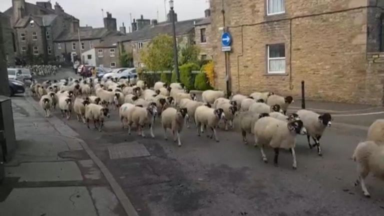 Sheep Bring Traffic to a Halt in Un-Ewe-Sual Sight in North Yorkshire, England