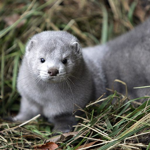 Should we worry about the mutation of COVID in Danish mink?