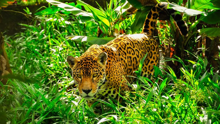 Brazil's jaguar population is under threat from the fires