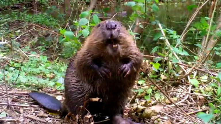 Remote camera footage show the rodents stripping bark off trees and manoeuvring twigs into place