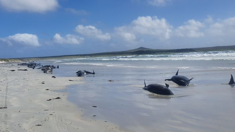 Rescue efforts to save the whales were hampered by the remote location. Pic: JEMMA WELCH/DEPARTMENT OF CONSERVATION NZ/REUTERS