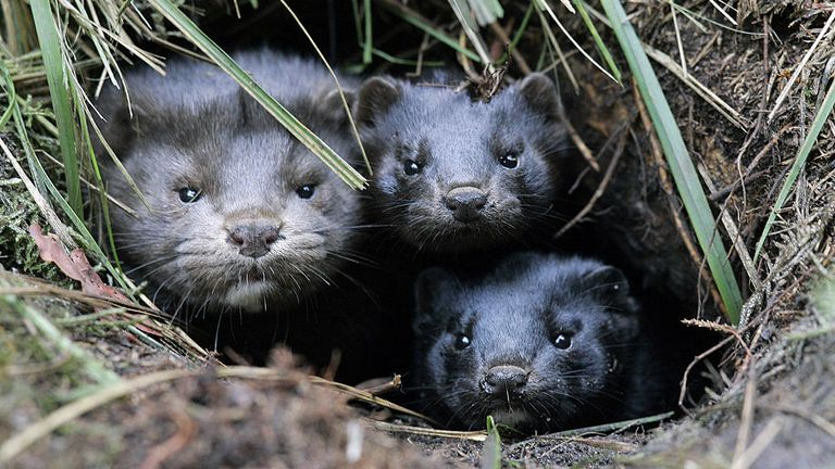 A group of mink take shelter in a hole in the ground after they and more than 10,000 others were released from a breeding facility in the eastern German town of Grabow by unknown persons 26 October 2007. The German Army was called in to help recover the escaped animals. AFP PHOTO DDP/JENS SCHLUETER GERMANY OUT (Photo credit should read JENS SCHLUETER/DDP/AFP via Getty Images)