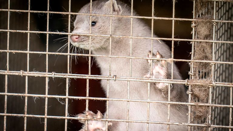 Denmark will cull the entire 15 million mink farmed on its territory