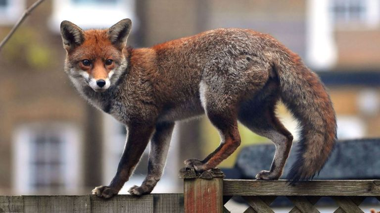 Two other foxes were found with bolts in their body in the same location