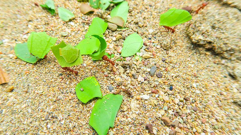 Leaf-cutter ants are crawling in the sand of Huina Beach on the Pacific Coast on August 31, 2016 in Bahia Solano, Colombia. (Photo by EyesWideOpen/Getty Images)