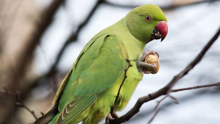 A Ring-necked parakeet eats a peanut while sitting on a branch in St James's Park on March 3, 2020 in London, England