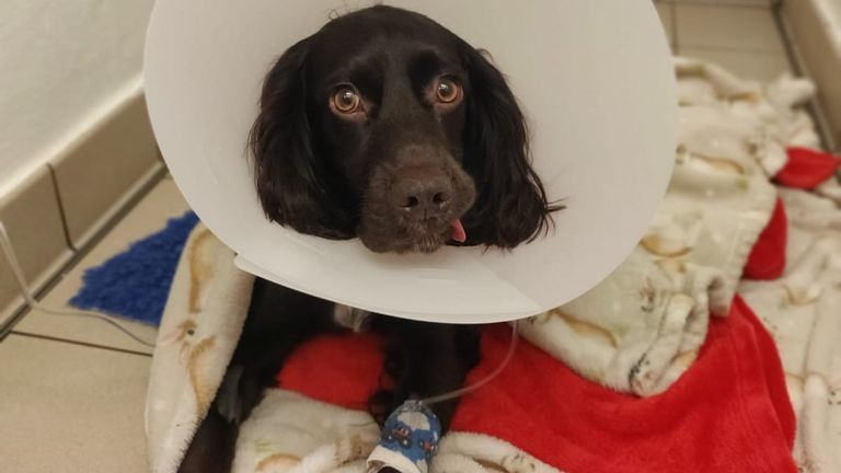 Cocker spaniel Ralph had to have emergency surgery