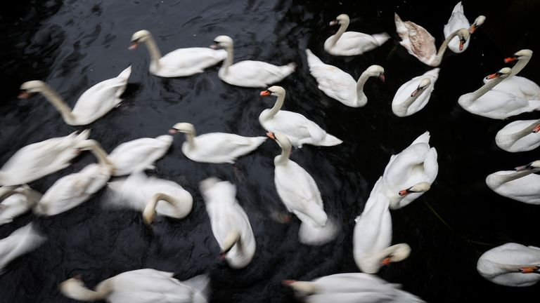 17 November 2020, Hamburg: Swans gather in the town hall lock on the Alster and are captured by swan father Nie� and his helpers. (shot with a long shutter speed). Until spring they are now taken to their ice-free and bird flu protected winter quarters in the Eppendorf mill pond. Photo: Christian Charisius/dpa