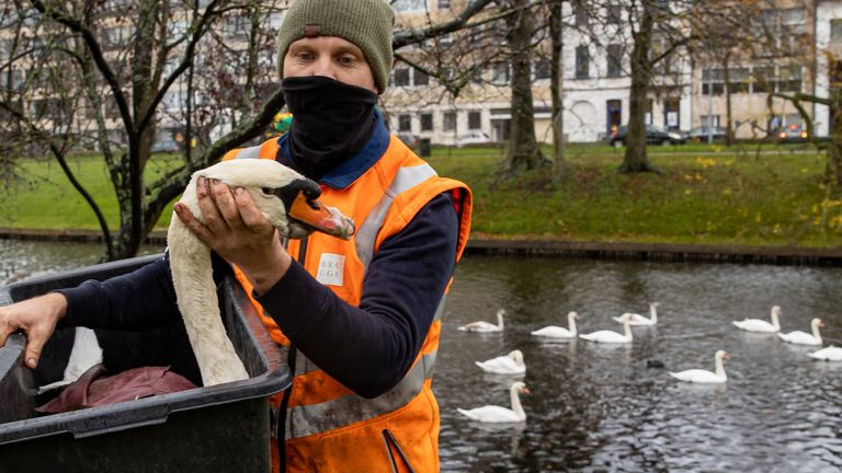 Illustration picture shows an operation to catch over 100 swans in the city center of Brugge, Thursday 19 November 2020. Due to the discovery of bird flu in three wild birds in Ostend, special security measures are required to prevent wild birds getting in contact with the swan population in the city of Bruges. BELGA PHOTO KURT DESPLENTER