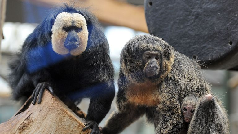 White-faced saki baby Novajaro clings to his mother Yacuma as father Gunther (L) looks on, February 13, 2014 at the zoo in Cologne, western Germany. Novajaro was born on December 31, 2013 at the zoo. AFP PHOTO / DPA / HENNING KAISER / GERMANY OUT (Photo credit should read HENNING KAISER/DPA/AFP via Getty Images)