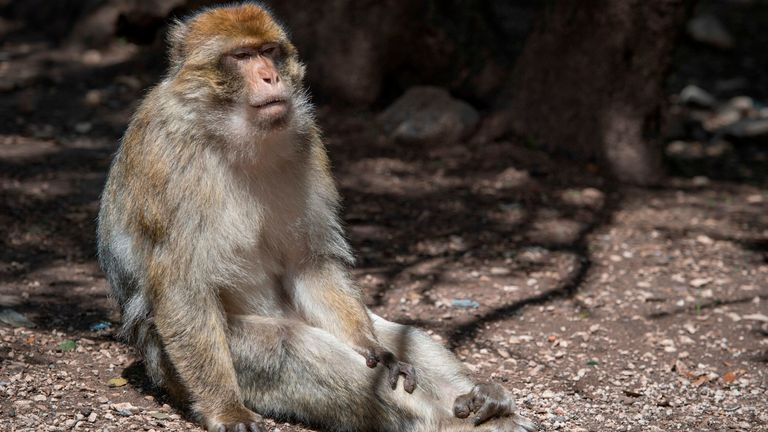 A Barbary macaque in the wild in Morocco