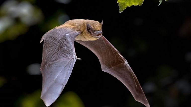 All bats in the UK are European Protected Species