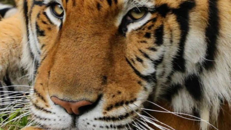 Kimba was rescued from a circus. Pic: Big Cat Rescue