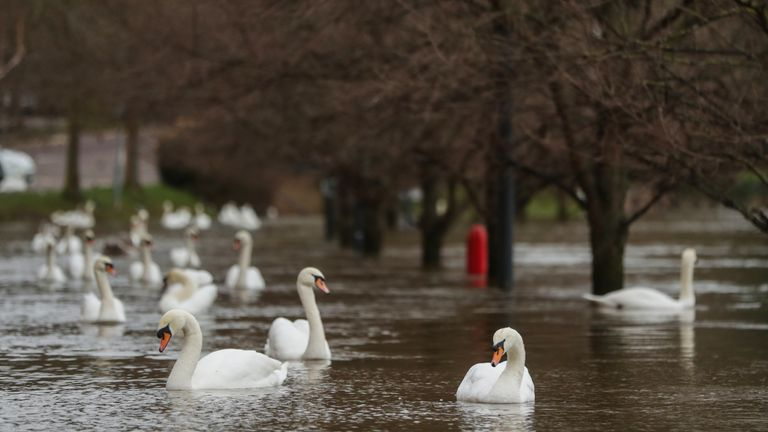 Swans swim in flood water in Worcester