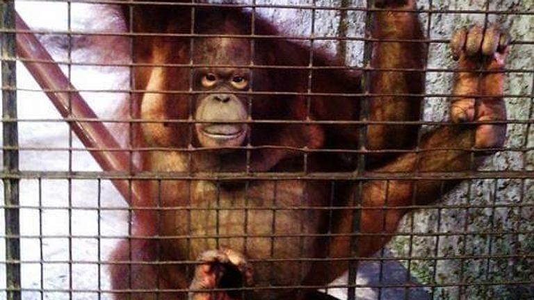 An orangutan at Pata Zoo in western Bangkok, Thailand