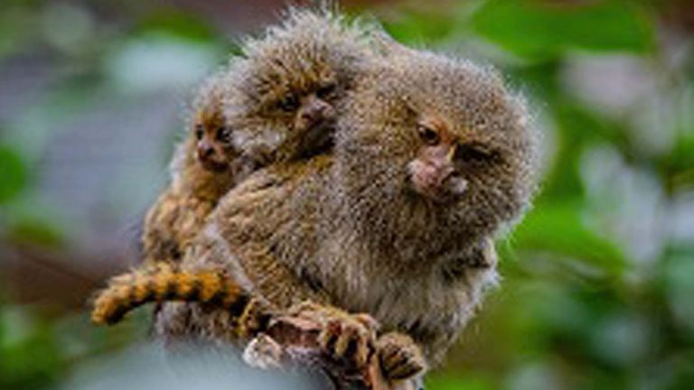 The eastern pygmy marmosets are some of the world's smallest monkeys
