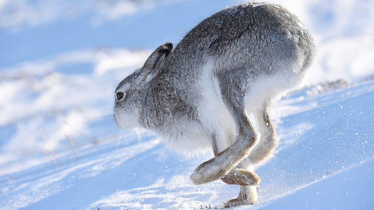 A mountain hare on the top plateau of a mountain in the Cairngorms, Scotland