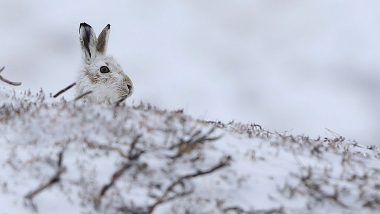 A mountain hare sits in the snow in the Cairngorm mountains near Glenshee in Scotland