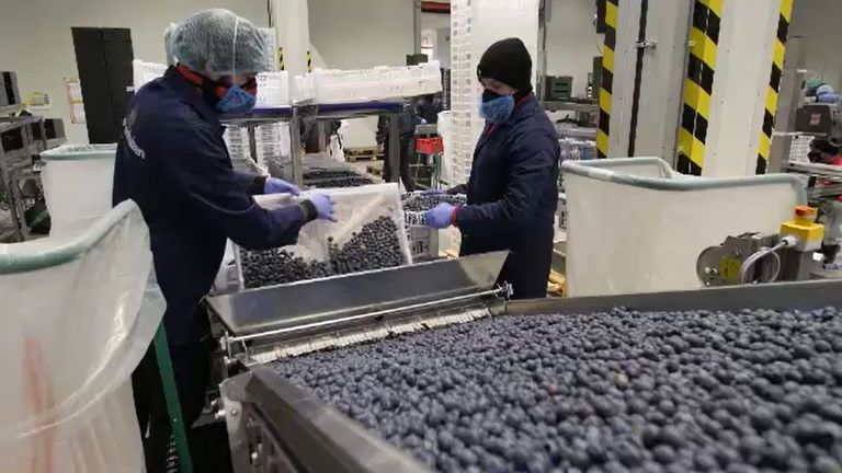 Family-run Scherpenhuizen company processes blueberries to be sent to the UK