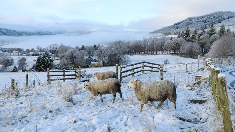 Sheep walk on a snowy field in Pitlochry, Scotland, Britain December 3, 2020. REUTERS/Russell Cheyne