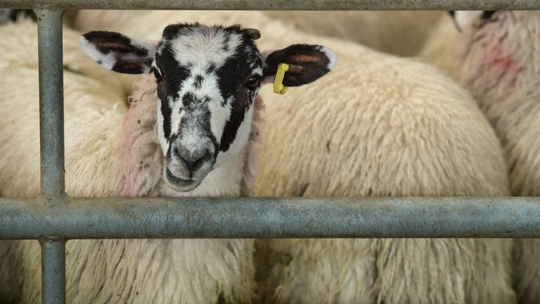 Livestock, such as these lambs in the Lake District, would no longer be exported for slaughter under government plans