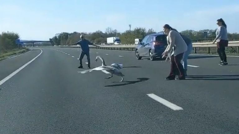 This swan was rescued from motorway in Britol. Credit: Harry Gunning