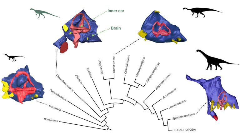 This group of dinosaurs underwent important changes in brain and inner ear shape during their evolution