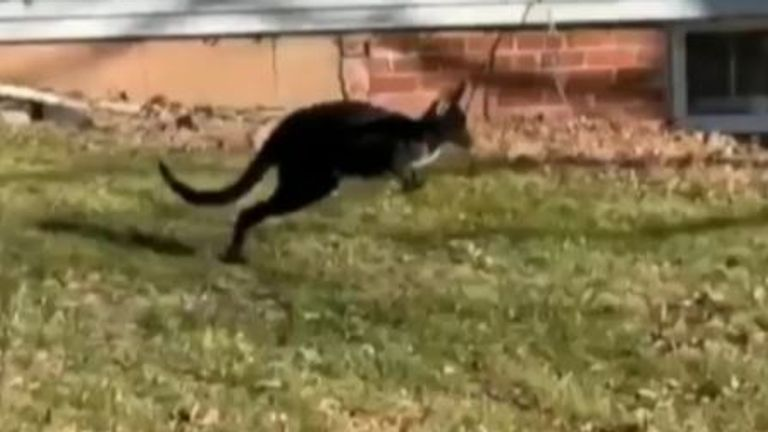 Escaped wallaroo leads police on two-hour chase in Illinois