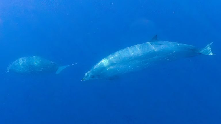 Beaked whales can dive 2,000 metres below the ocean's surface