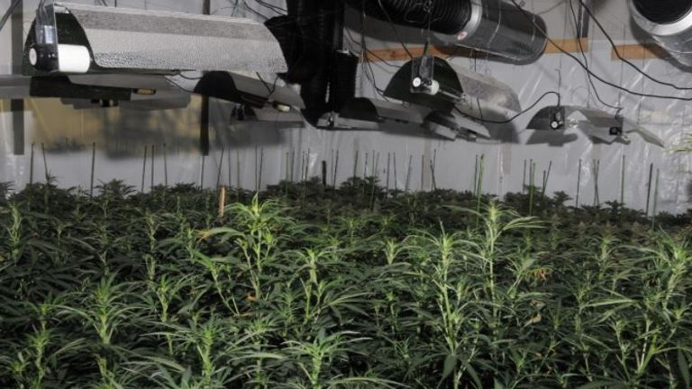 City of London Police destroyed the cannabis farm, which held more than 800 plants