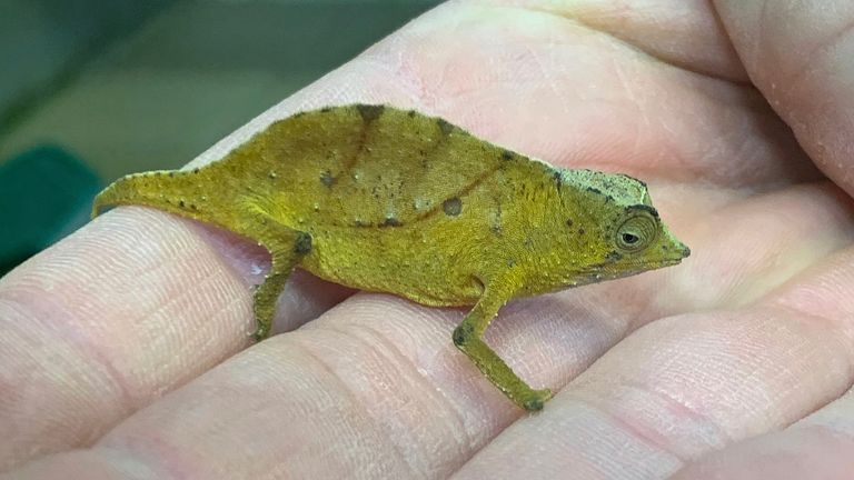 Over 70 species-protected chameleons were to be smuggled into Vienna this week. Pic: AP Images