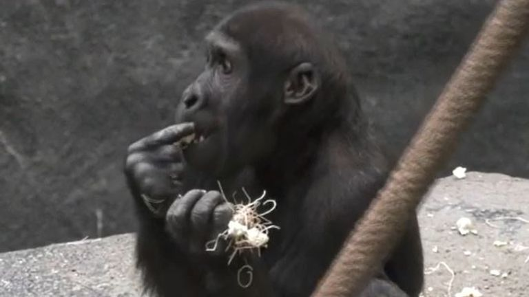 Gorilla enjoys a popcorn feast in Chicago