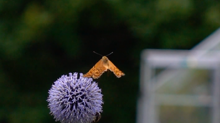 Scientists have cracked the mystery of butterfly flight. Pic: Lund University