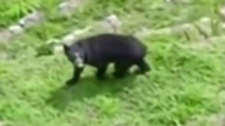 Spectacled bear seen at Machu Picchu in Peru