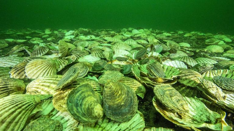Around 90% of oyster reefs are said to be lost