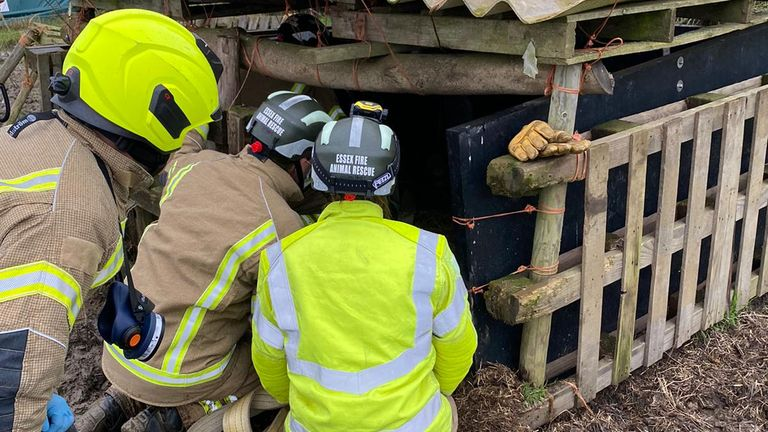 Dolly, who weighs 200kg (31st 6lb), was unable to get back up from her sty in Felsted, Essex. Pic: Essex Fire and Rescue Service
