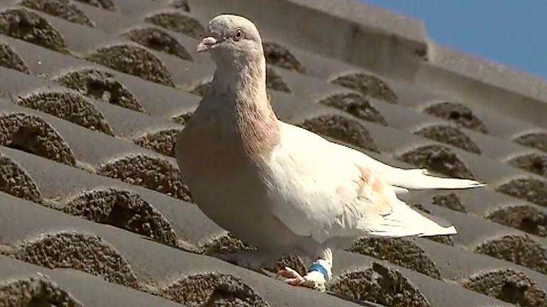 Joe, the racing pigeon, seen on a Melbourne rooftop, appears to have made an extraordinary 8,000-mile journey across the Pacific Ocean