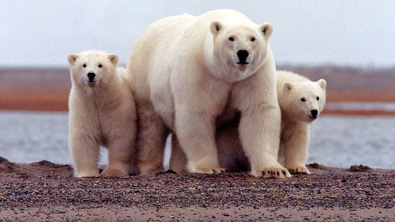 Mr Trump's administration made parts of the Arctic National Wildlife Refuge, which is a home to polar bears, available for oil drilling - a policy now being targeted by Mr Biden