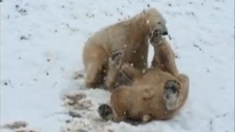 Not everyone is a fan of January snow, but it's been perfect conditions for a group of polar bears in South Yorkshire.