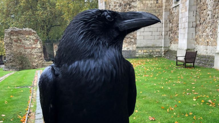 Merlina, known as the queen of the Tower of London's ravens, has not been seen for weeks. Pic credit: Tower of London/Twitter