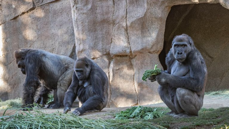Studies have shown some primates are susceptible to the virus. Credit: Christina Simmons/ San Diego Zoo Safari Park