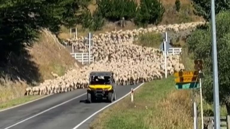 3,000 lambs take a stroll on a road in New Zealand