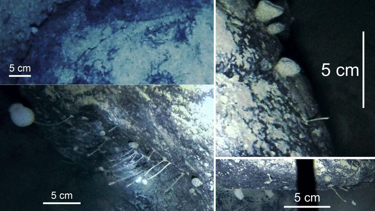 Images showing the sponges and creatures living under the Filchner-Ronne Ice Shelf. Credit: British Antarctic Survey