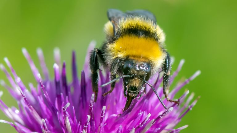 Great Yellow bumblebee. Conservationists have discovered one of the UK's rarest bumblebees, the Great Yellow bumblebee, in Caithness, Scotland. Issue date: Wednesday February 17, 2021.